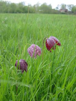 2001-11-Snakeshead Lily Fritillaria