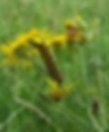 Cinnabar Moth Caterpillar.jpg