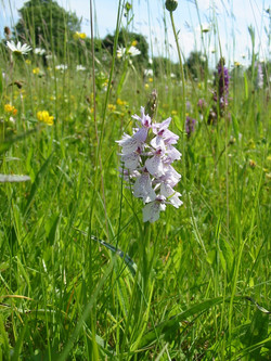 2008-09-Common Spotted Orchid 03
