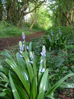 2003-05-bluebell