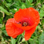 2017-09-Common Poppy