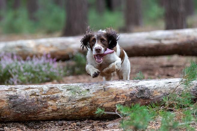 Berkshire dog walks