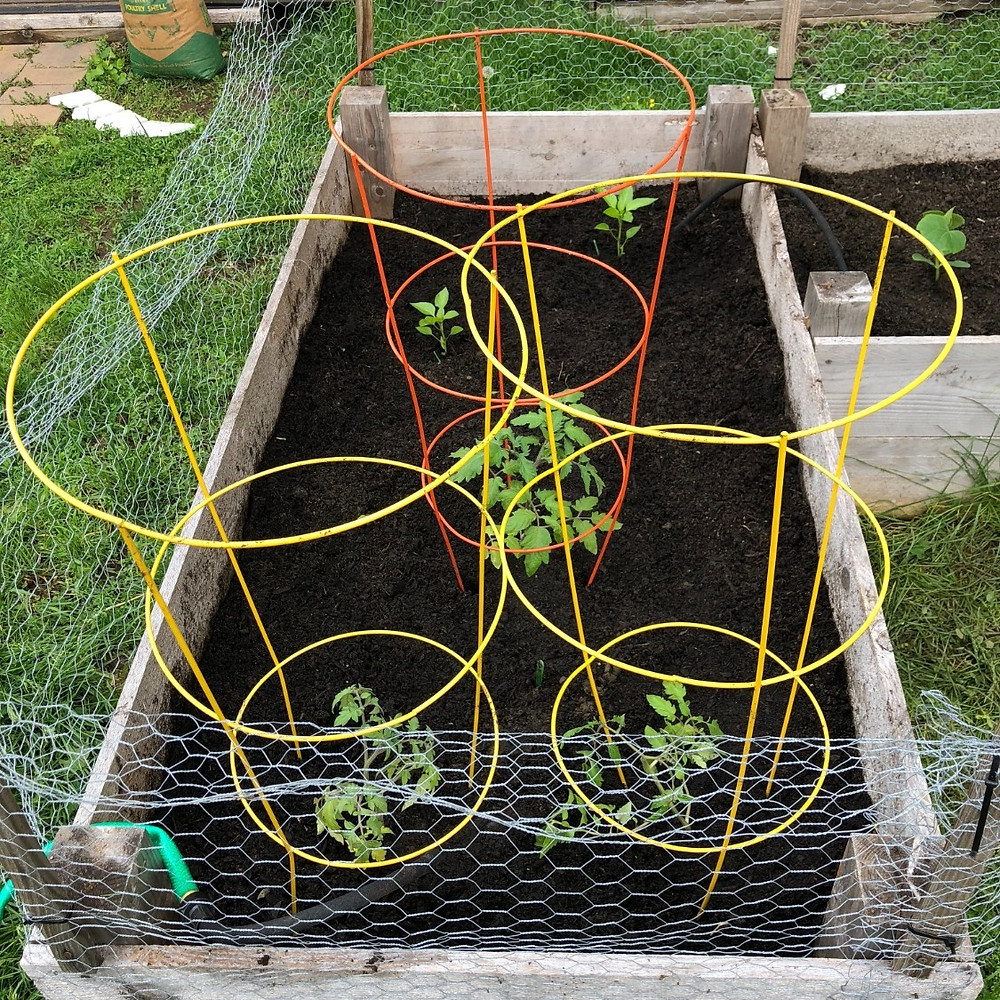 Remember those sweet, nicely spaced little tomato plants?