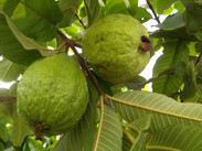 Nutrients of guava fruits for health