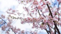 springbuds.jpg