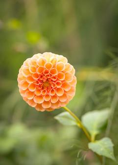 beautydahlia.jpg