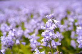 bluebells.jpg