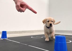 Yellow retriever puppy following point