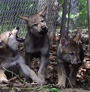 wolf.jfif