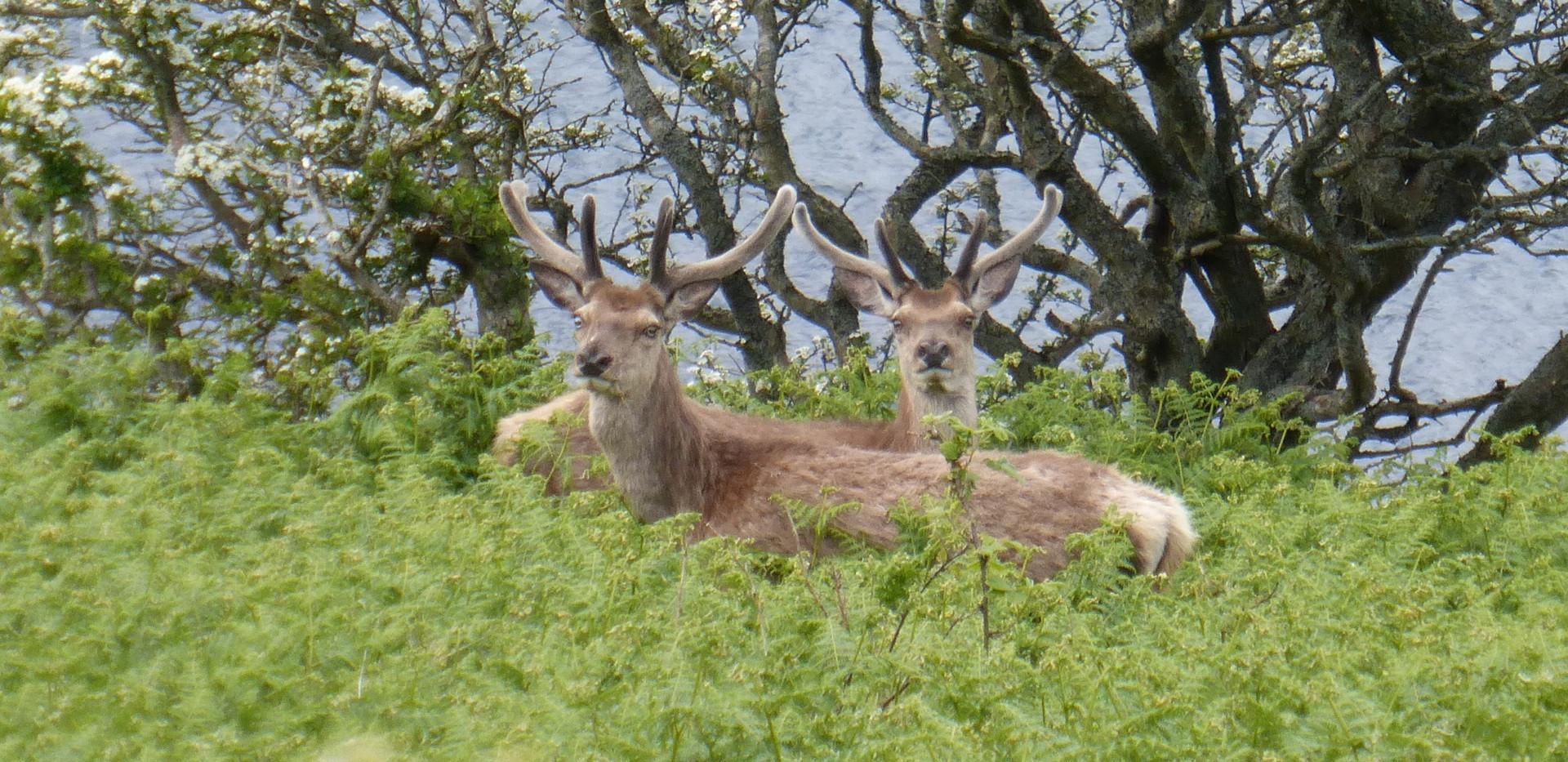 Deer at Lochranza Isle of Arran