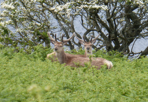 Deer at Lochranza Isle of Arran