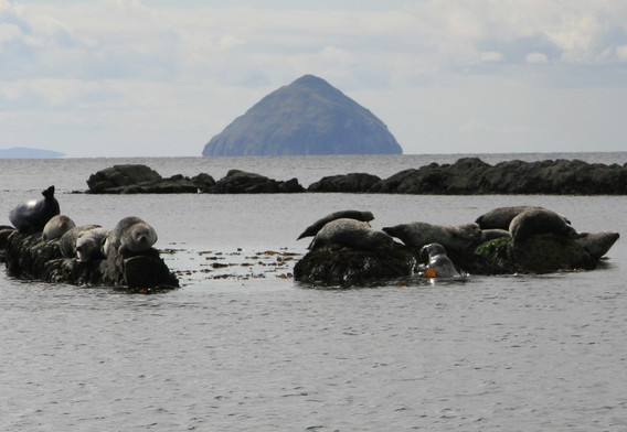 seal pups and Aisa Craig from Arran