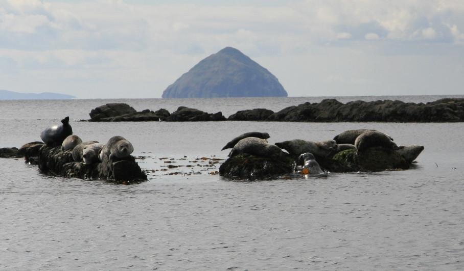 seal pups and Aisa Craig from Arran