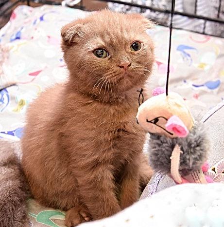 chaton scotish fold
