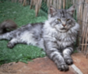 EARL GREY MAINE COON