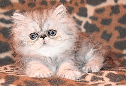 chaton persan Lustyk's