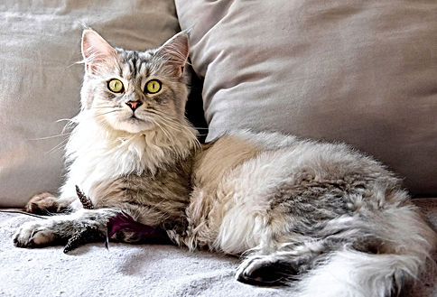 JEEPSY MAINE COON