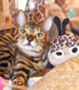 Naïka chaton femelle Bengal