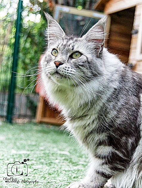 Wistantriale DARLING MAINE COON