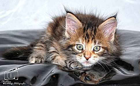chaton brown tortie maine coon