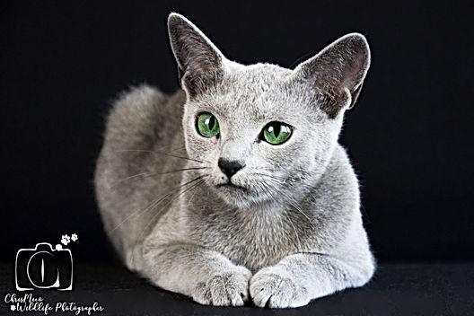 NIRVANA jeune femell bleu russe