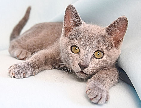 chaton bleu russe
