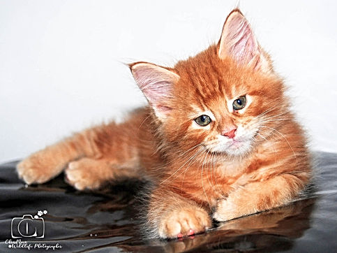 chaton roux maine coon