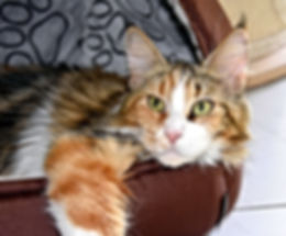 JESSY MAINE COON