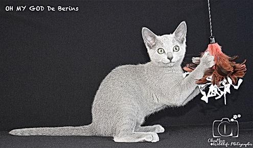chaton 2 bleu russe berins