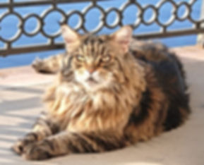Broady MAINE COON