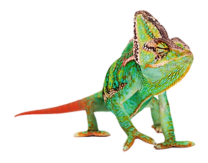 890-8908326_common-chameleon_edited.png
