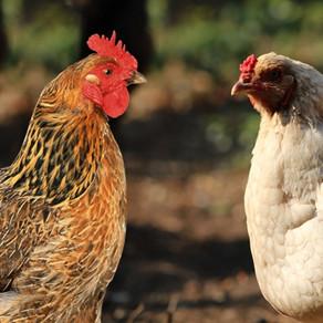 O que determina uma galinha ser branca ou colorida? Saiba tudo aqui