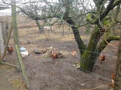 Hønsene