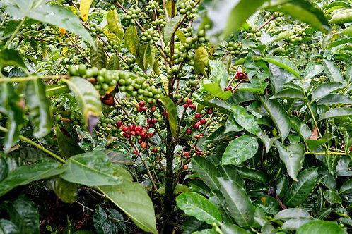 Guatemala - Huehuetenango SHB