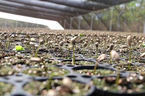 Mexico - El Triunfo Biosphere - Women Producers - Whole Bean 12oz