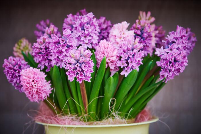 HyacinthFlower.jpg