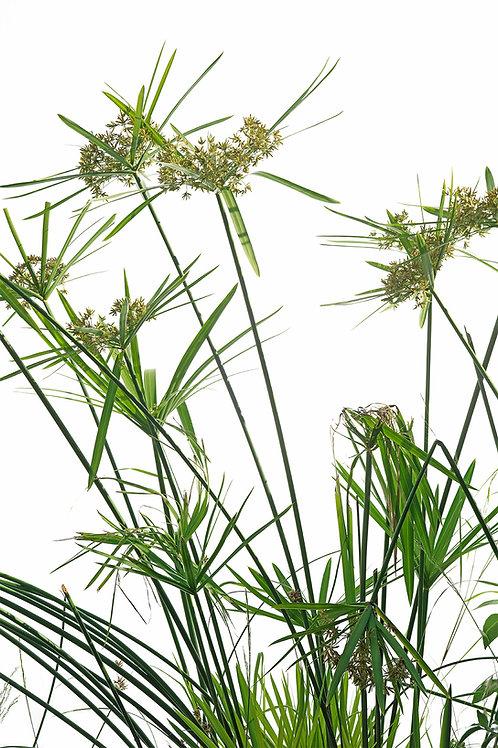 Flora_Papyrus