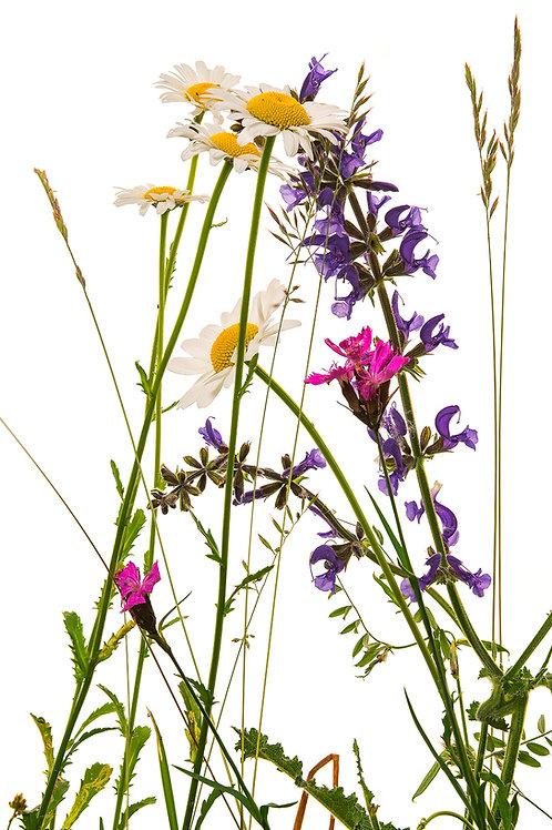 Flora_Wiesenblumen
