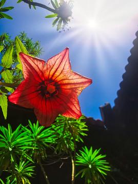 Rose of La Gomera2.jpg