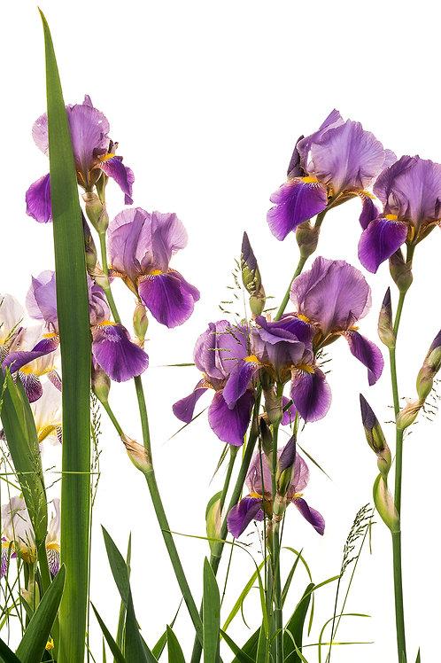 Flora_Iris