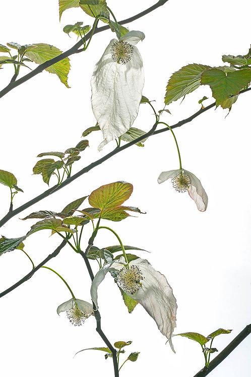 Flora_Taschentuchbaum