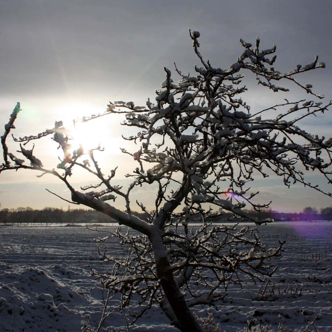Hof-van-Vijfeijken-perenboom