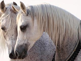 ¿Cómo se comunican los caballos?