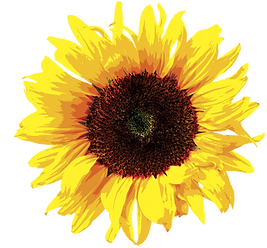 Large Sunflower image