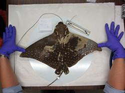 Aetobatus-narinari_SMNH170511