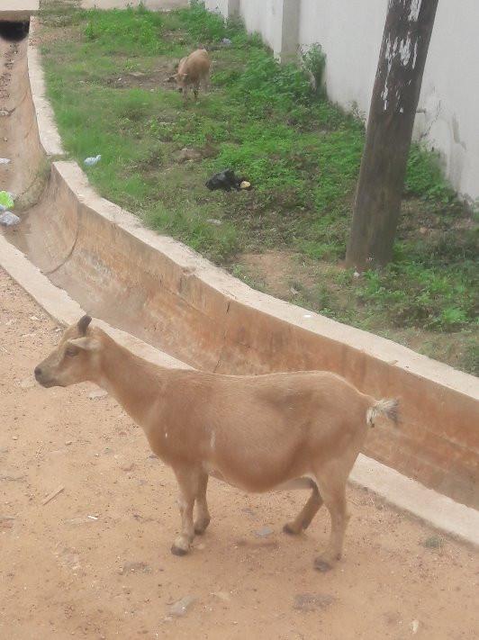 Goats, chicken, litter