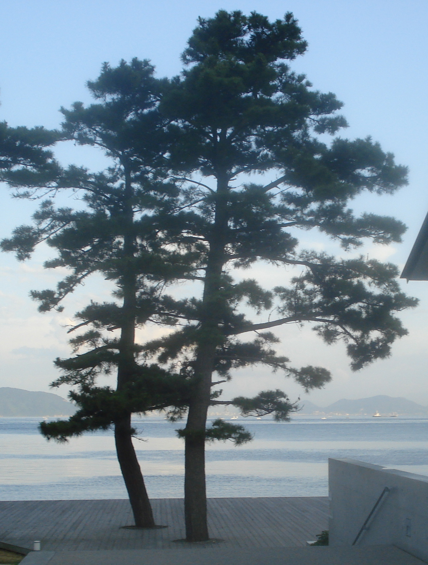 Pines sea