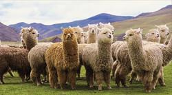 Alpacas_Alpaca_Wool
