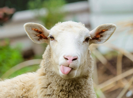 Last Sheep and Goat Sale  September 24th!
