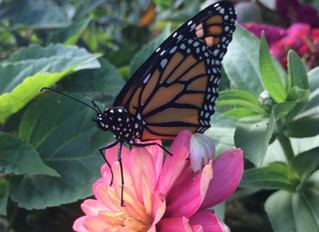 Rescue, Raise & Release. Help the Monarchs